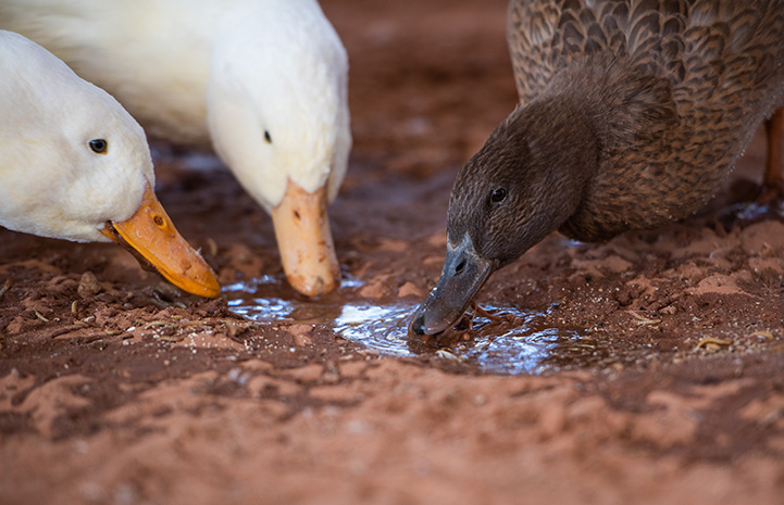 Ducks eating snacks from a mud puddle