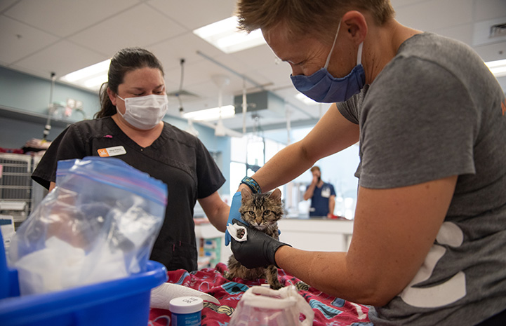 Grace the cat getting her bandages changed