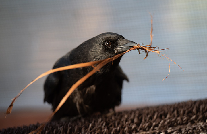 Annabel the crow with some grasses held in her beak