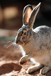 Forest the jackrabbit
