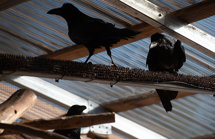 North, South and West the ravens on some wooden perches