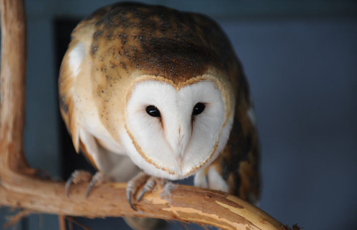 Suvali the owl standing on a wooden perch