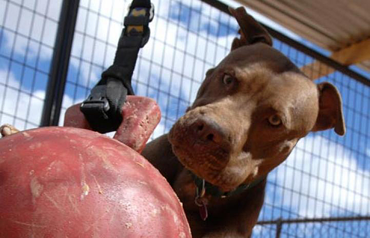 Willie, an ex-Michael Vick dog, loves the jolly ball