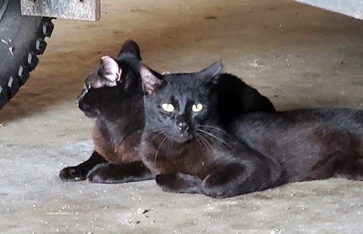 Pair of working cats adopted from Osceola County Animal Services