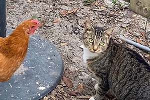 Tabby cat outside next to an orange chicken