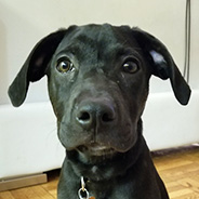 Adopt Yoko the puppy available for adoption from New York