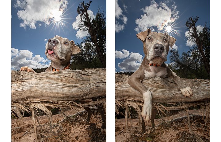Two photos of Yvonne, a gray and white pit bull terrier hanging her paws over a fallen log