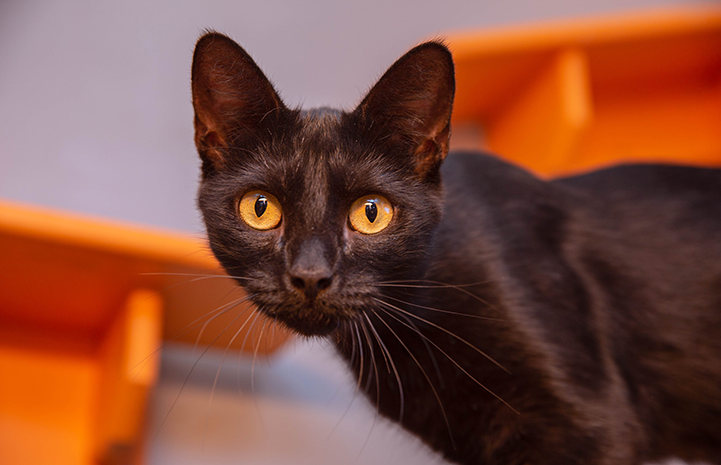 Black cat with gold eyes with some orange shelves behind her