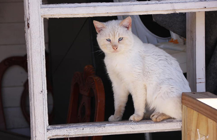 A blue-eyed flamepoint Siamese mix cat sitting in a windowsill