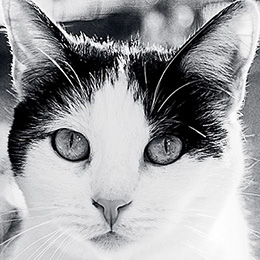 Black and white photo of the face of a black and white cat