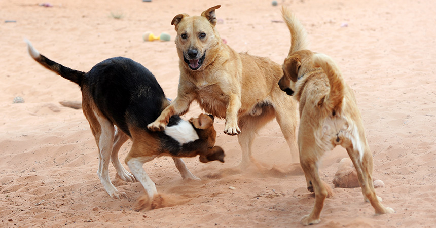 Three dogs playing together