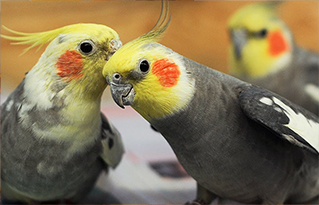 https://bestfriends.org/Cockatiel%20available%20for%20adoption%20from%20Best%20Friends%20Animal%20Sanctuary