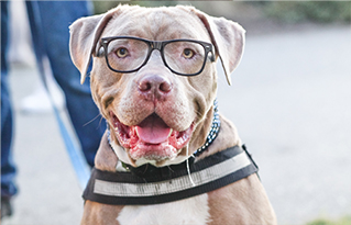 https://cdn.bestfriends.org/Pit%20bull%20terrier%20dog%20wearing%20glasses