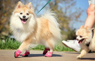 https://bestfriends.org/Pomeranian%20wearing%20pink%20boots%20and%20walking%20at%20Strut%20Your%20Mutt%20event.