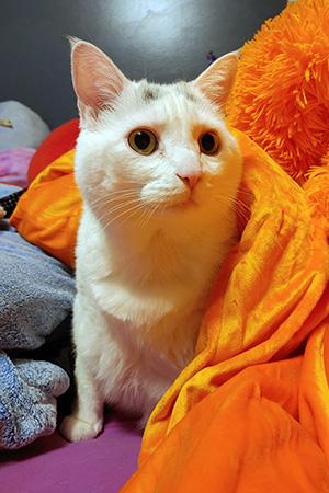 Monkey the cat partially under an orange blanket