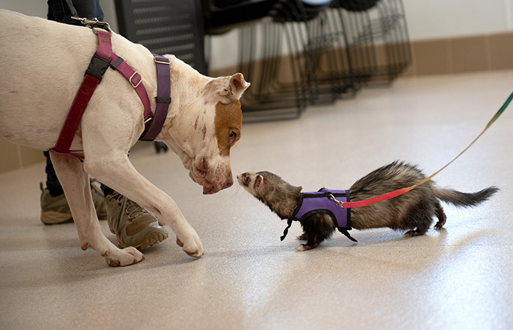 Taquito the dog sniffing a ferret who is leashed in a harness nose-to-nose