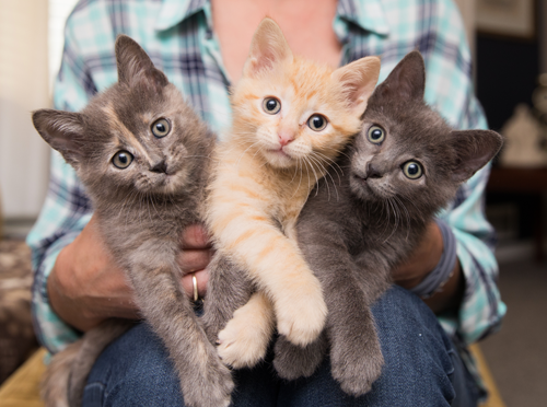 Person holding three small kittens in a home