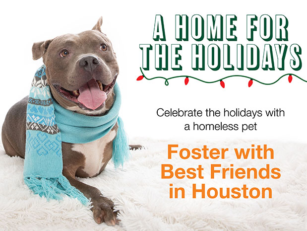 Smiling gray dog wearing a scarf with words promoting a home for the holidays and fostering in Houston