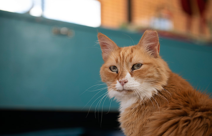Axl the orange tabby and white cat with a blue background