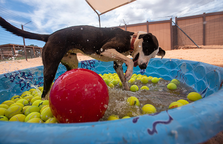 Safira the dog playing in a small pool that contains water and floating tennis balls and one large red ball