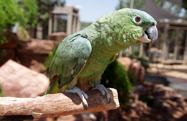 Paco the Amazon parrot standing on a wood perch