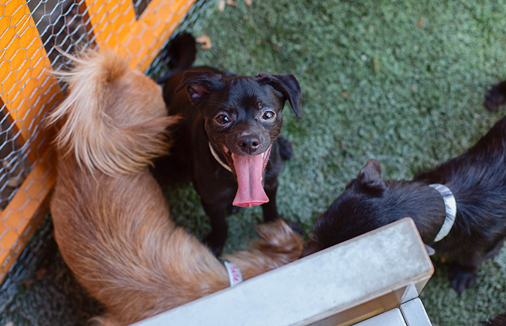 Small black dog with tongue hanging out, rescued from a hoarding situation