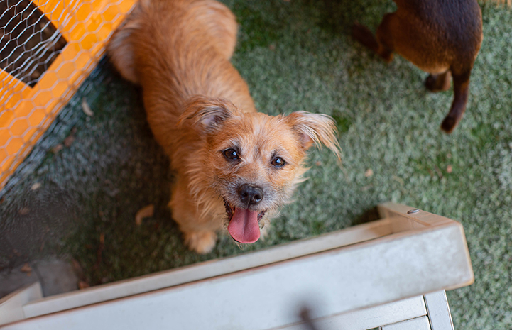 A fuzzy tan terrier dog from a hoarding situation
