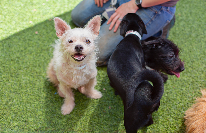 Blond terrier mix dog with upright ears looking at the camera and two small black dogs looking away