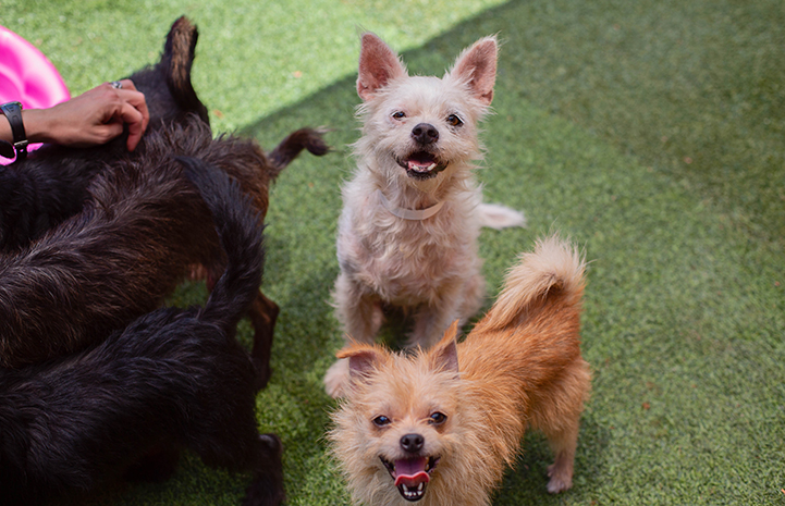 Two fuzzy terrier mix dogs, rescued from a hoarding situation