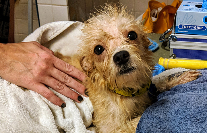 A light colored terrier mix dog getting a bath