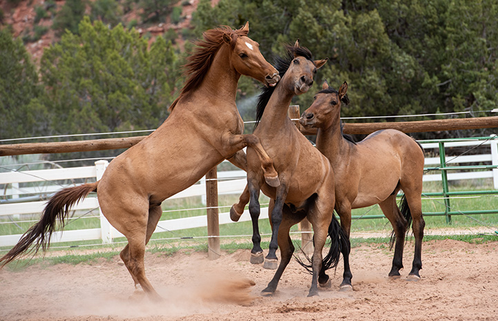 Peanut the horse rearing up playing with two other equine friends