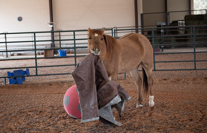 Peanut the horse playing with a tarp