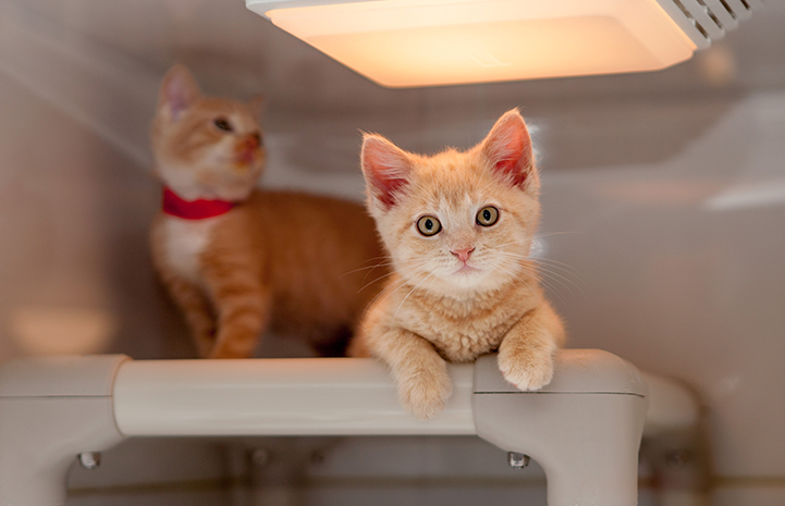 Pair of cream tabby kittens in a kennel