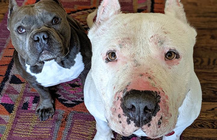Walter the white mastiff with Tuggy, Melissa's dog