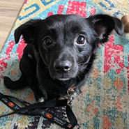 Adopt Midnight the dog available for adoption from Chicago