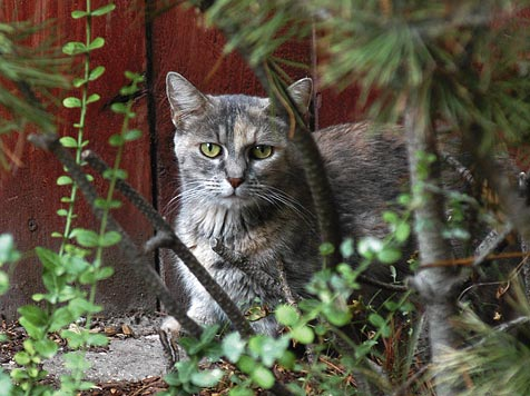 Feral cat in bushes