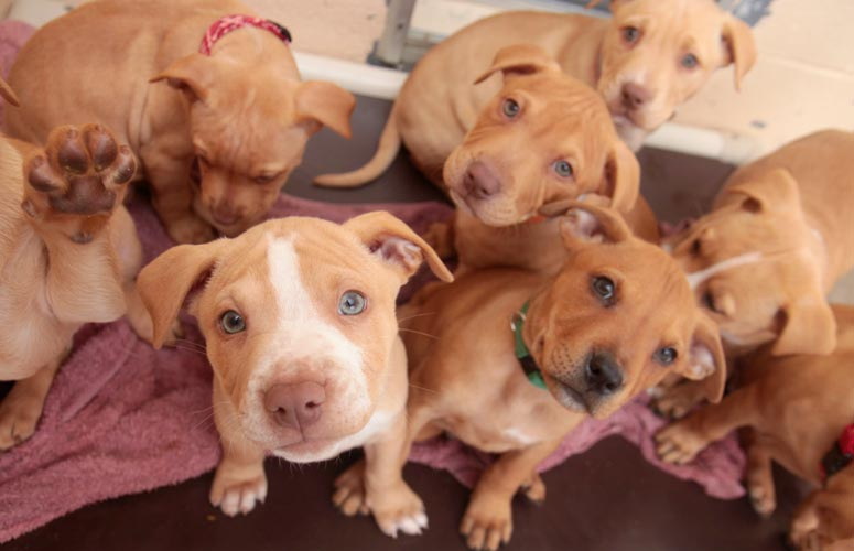 I Want To Adopt A Pit Bull Terrier Puppy