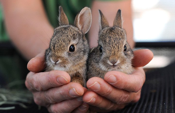 Baby Cottontail Bunnies Rescued | Best Friends Animal Society