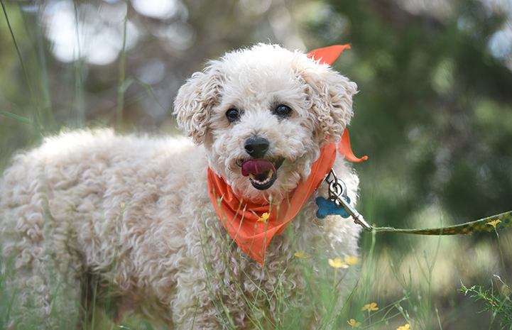 Puppy Mill Poodle Rescue | Best Friends Animal Society