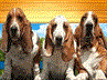 Basset Hound Rescue of S. California (Whittier, California) logo with three Basset Hounds