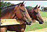 Beauty's Haven Farm and Equine Rescue, Inc. (Morriston, Florida) logo with photo of two horses