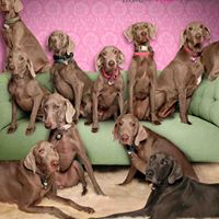 Tickled Pink Weimaraner Rescue (Albuquerque, New Mexico) logo is a photo of a bunch of Weimaraners on a green couch