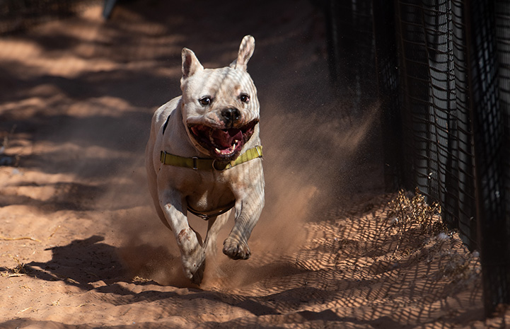 Calvin the dog running in the sand outside alongside a fence