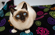 Siamese cat available for adoption