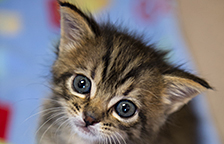 Brown tabby kitten available for adoption
