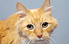 Orange and white tabby cat available for adoption