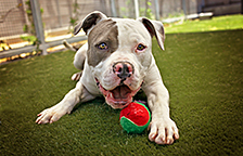 Pit bull terrier available for adoption