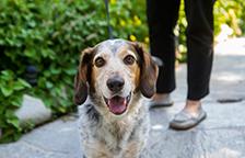 Adopted beagle mix dog