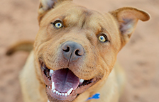 Brown pit-bull-terrier-type dog smiling at the camera
