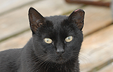 Ear-tipped black stray cat
